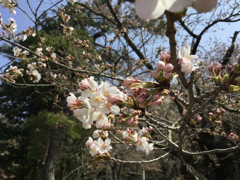 岩松院 桜