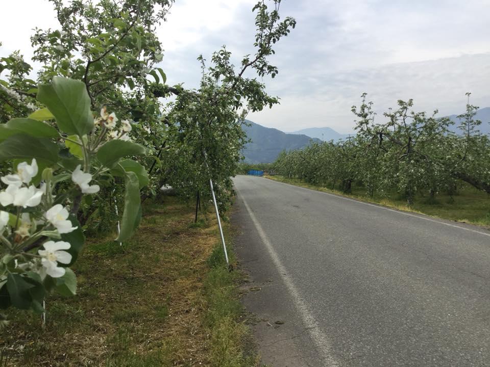 須坂へサイクリング 日滝の農道りんごの花