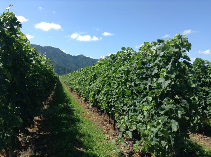 高山村のワインブドウ畑