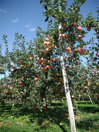 飯綱のリンゴ